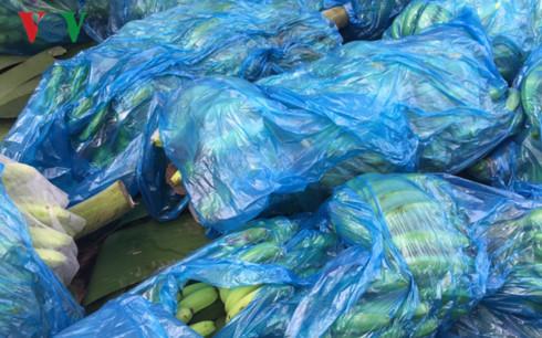 Chuối được bọc ni-lông và đưa về vị trí đóng hàng tại vườn