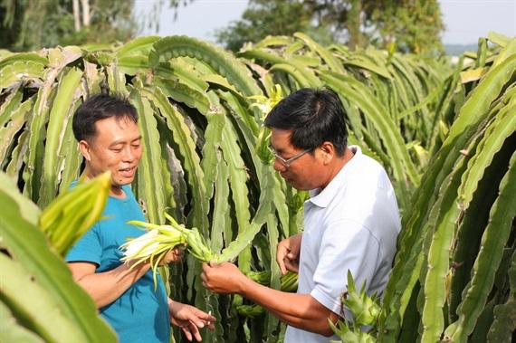 Nông dân trồng thanh long đang hào hứng vào mùa xông đèn thanh long vì giá cao