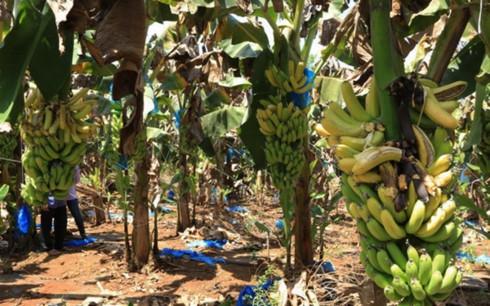 Nông dân xót xa nhìn chuối chín vàng rụng đầy gốc, không buồn thu hoạch vì giá chuối rẻ như bèo (Ảnh minh họa: KT)