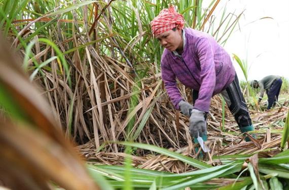 Nhiều doanh nghiệp xác định việc tăng cường liên kết với người nông dân là giải pháp căn cơ cho ngành đường phát triển bền vững
