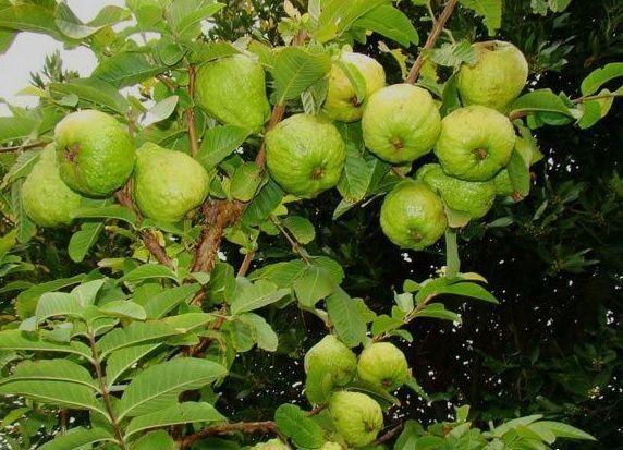 Ổi lê là giống cây sinh trưởng và phát triển mạnh, ra trái quanh năm,khả năng chống chịu sâu bệnh tốt