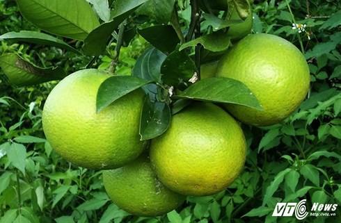 Hầu hết cam đã được các thương lái đến tận vườn đặt cọc mua cả cây từ khi quả còn non xanh.