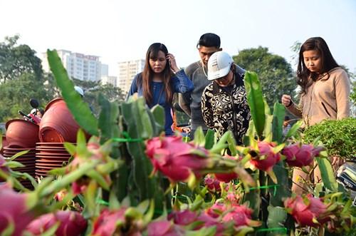 Thanh long cảnh đổ bộ chợ Tết Thủ đô ảnh 15