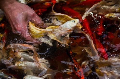 Được biết, cá phục vụ Tết ông Công ông Táo đem về chợ bán được các tiểu thương mua từ Tam Dương (Vĩnh Phúc) Hà Nam, Hải Dương, Hưng Yên.