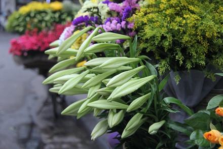 Hoa loa kèn được trồng vào tháng 9, tháng 10 nhưng phải chờ đến tháng tư năm sau mới được thu hoạch. Hoa giống kèn ta nhỏ bông hơn và ngắn hơn kèn tây.