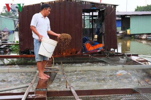 Ông Trần Văn Lợi và lồng cá đã đến ngày xuất nhưng chưa bán được.