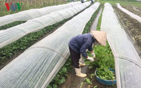 TP Hà Nội đặt mục tiêu đến 2020 phát triển hơn 16.000ha rau an toàn.