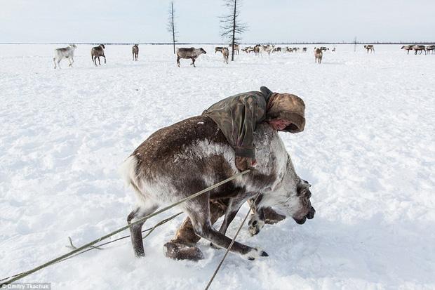 Thực phẩm ở đây rất khan hiếm, nên tuần lộc được coi là nguồn thức ăn chính của người Nenets.