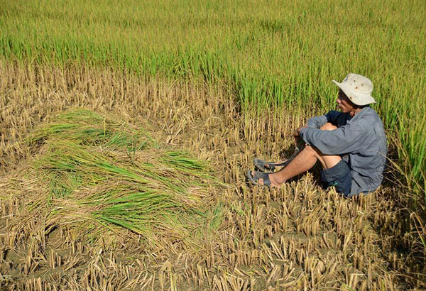 Nước dưới sông mặn chát nên bơm vào ruộng lúa khô héo, chết dần ở huyện Long Phú, tỉnh Sóc Trăng. Ảnh: VietNamNet