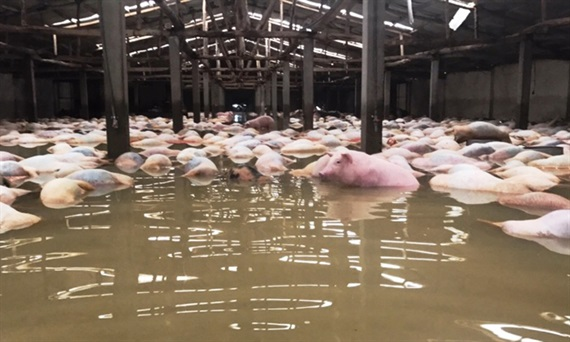 Số lợn chết tại Trại giam số 5 dự kiến khoảng 6.000 con