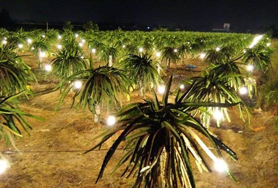 Vườn thanh long ở vùng chuyên canh huyện Châu Thành, Long An vào mùa xông đèn