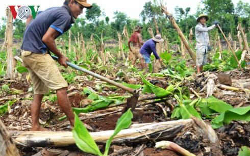 Nông dân tăng diện tích trồng chuối bất chấp rủi ro