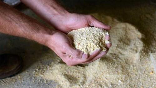 Thức ăn cho gà Bresse gồm bột ngô, bột lúa mì và sữa sấy khô.