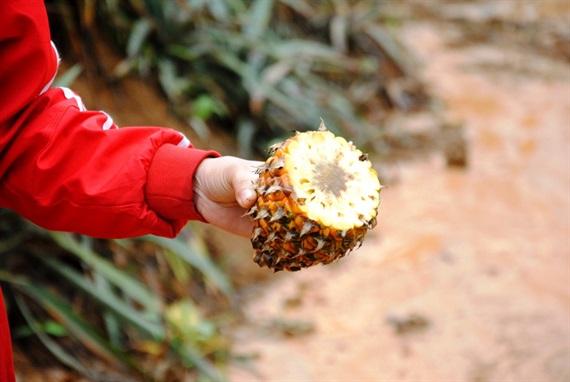 Những trái dứa thơm ngon chỉ sau 1 ngày bị biến thành phế phẩm