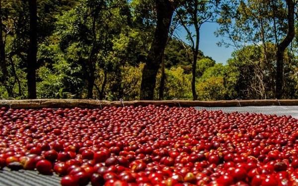 Những quả cà phê chín đỏ có kích cỡ như trái cherry được phơi dưới ánh nắng mặt trời trong 8 ngày, sau đó mới tách lấy hạt.