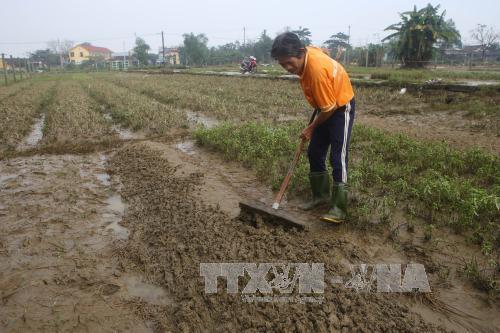 Người dân xã Quảng Thành cào bỏ ruộng rau bị hư hỏng do lũ lụt. Ảnh: Hồ Cầu/TTXVN