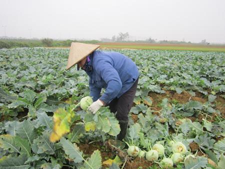 Bà con nông dân thu hoạch su hào