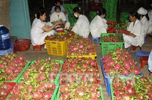 Sơ chế thanh long tại công ty Duy Lan (tỉnh Bình Thuận) để xuất khẩu sang Mỹ. Ảnh: Anh Tuấn/TTXVN