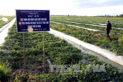 Chi cục Trồng trọt và Bảo vệ thực vật tỉnh Cà Mau đã triển khai thí điểm mô hình trồng dưa hấu theo tiêu chuẩn VietGAP. Ảnh Kim Há/TTXVN