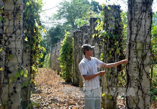 Vườn tiêu của anh Phan Văn Nhật ở thôn Hòa Sơn, xã Sông Hinh, có 100 gốc nhưng 85 gốc đã bị chết.