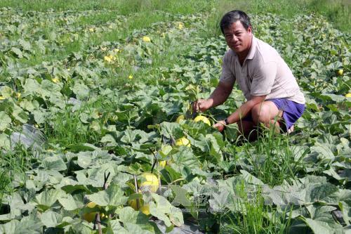 Ông Đinh Văn Út bên ruộng dưa lê phục vụ nhu cầu chưng Tết của mình