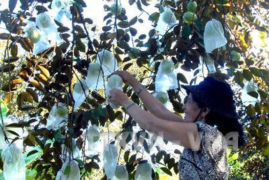 Vú sũa Lò Rèn theo tiêu chuẩn GlobalGAP chuẩn bị cho thu hoạch . Ảnh: Hoàng Hải/TTXVN