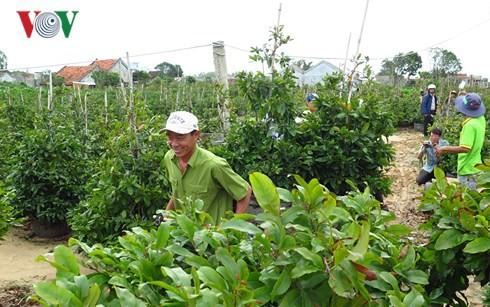 Hoa cây cảnh được mùa, Tết này nhiều hộ ở Phú Yên thu hàng trăm triệu - Ảnh 1.