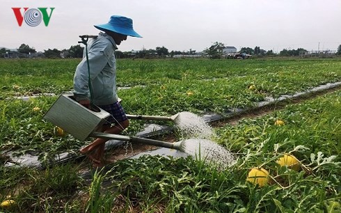 Thời tiết bất lợi, nông dân Bà Rịa - Vũng Tàu lo thất thu dưa hấu Tết - Ảnh 1.