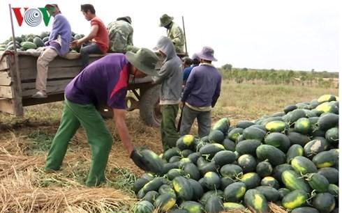Người trồng dưa hấu ở Đắk Lắk phấn khởi vì được mùa, được giá - Ảnh 1.
