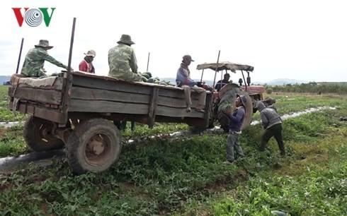 Người trồng dưa hấu ở Đắk Lắk phấn khởi vì được mùa, được giá - Ảnh 2.