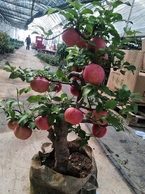 Cây táo đỏ đẹp nhập từ Trung Quốc giá bạc triệu chơi Tết và bí mật sau tán quả - Ảnh 1.