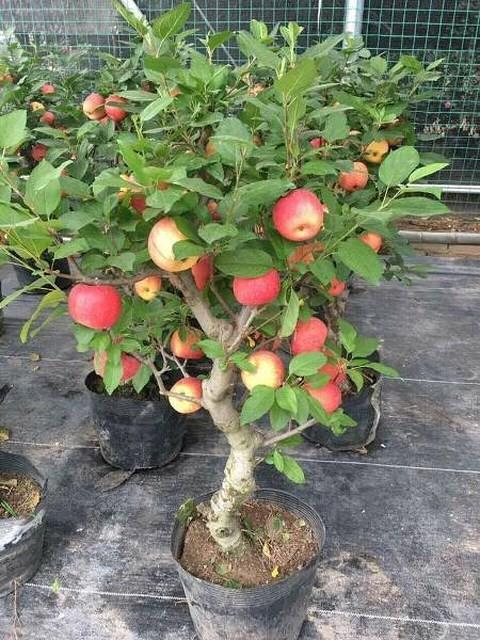Cây táo đỏ đẹp nhập từ Trung Quốc giá bạc triệu chơi Tết và bí mật sau tán quả - Ảnh 2.