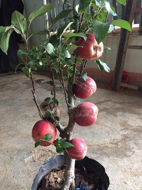 Cây táo đỏ đẹp nhập từ Trung Quốc giá bạc triệu chơi Tết và bí mật sau tán quả - Ảnh 3.