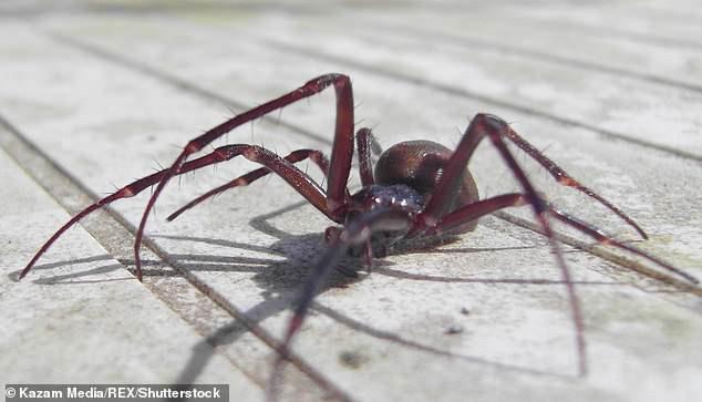 7 trường học tại Anh phải đóng cửa vì bị nhện góa phụ giả dạng tấn công - chúng nguy hiểm ra sao? - Ảnh 2.
