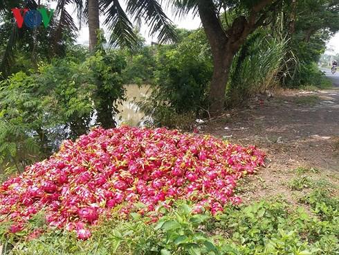Vứt bỏ hàng trăm tấn thanh long: Hậu quả việc trồng theo phong trào - Ảnh 4.
