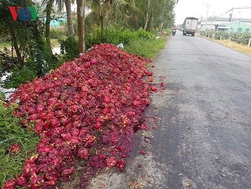 Vứt bỏ hàng trăm tấn thanh long: Hậu quả việc trồng theo phong trào - Ảnh 5.