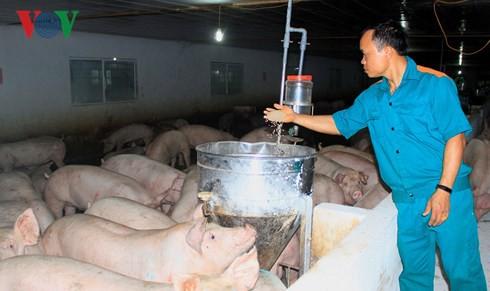 Nông dân bỏ tiền tỷ để được nuôi lợn thuê - Ảnh 1.