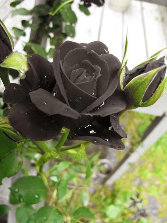 Hoa hồng đen nửa triệu đồng/bông vẫn hút khách dịp 20/10 - Ảnh 3.