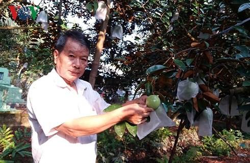 Nhà vườn Tiền Giang chuẩn bị 400 tấn vú sữa Lò rèn xuất sang Mỹ - Ảnh 1.