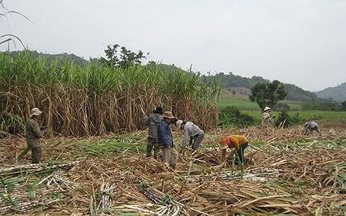 Sau vụ mía đắng, nguy cơ nông dân ở Phú Yên sẽ bỏ trồng mía - Ảnh 2.