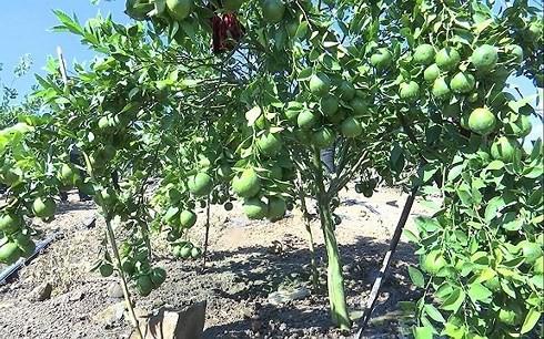 Trồng cây ăn quả trên đất dốc tại Sơn La cho hiệu quả kinh tế cao - Ảnh 1.