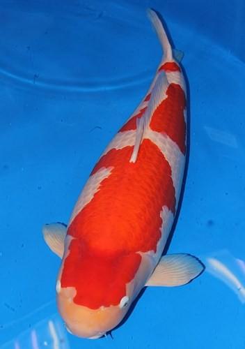 Ngắm cá Koi đắt nhất thế giới giá gần 42 tỷ đồng - Ảnh 4.