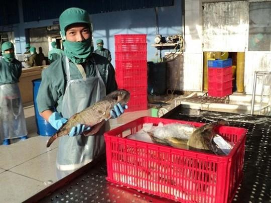 Doanh nghiệp đề nghị thu mua cá nóc xuất khẩu - Ảnh 1.