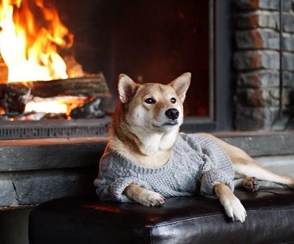 """Chó thời trang Bodhi cực """"ngầu"""" với mức lương 15.000 USD/tháng - Ảnh 5."""