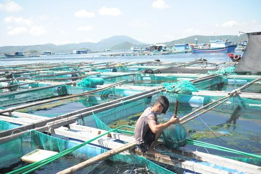 Tôm hùm, cá bớp ở Vân Phong chết hàng loạt vì tảo độc - Ảnh 1.