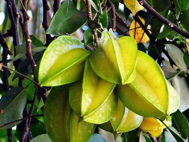Đã có nhiều người tử vong vì ngộ độc sau khi ăn khế: Cảnh báo những đối tượng không nên ăn loại trái cây này - Ảnh 2.
