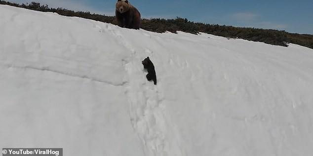 Video chú gấu con kiên nhẫn leo lên đỉnh núi tuyết truyền cảm hứng cho hàng triệu người với thông điệp: Đừng bao giờ bỏ cuộc! - Ảnh 2.