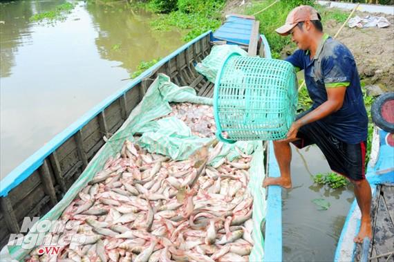 Cận cảnh nuôi cá ruộng mùa lũ ở miền Tây không cho ăn vẫn lớn như thổi - Ảnh 1.