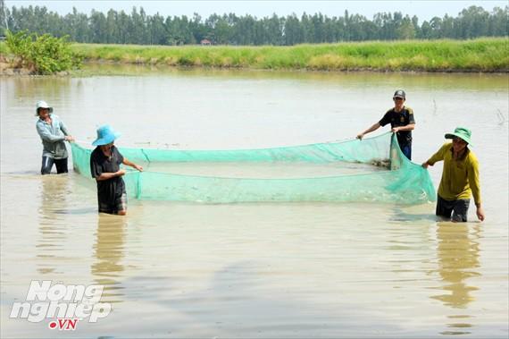 Cận cảnh nuôi cá ruộng mùa lũ ở miền Tây không cho ăn vẫn lớn như thổi - Ảnh 2.