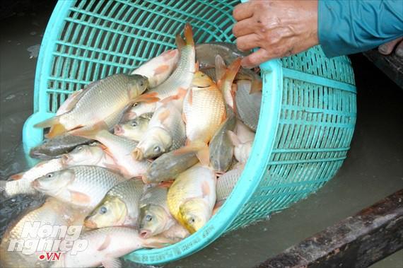 Cận cảnh nuôi cá ruộng mùa lũ ở miền Tây không cho ăn vẫn lớn như thổi - Ảnh 15.